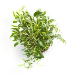 item cover plant ii