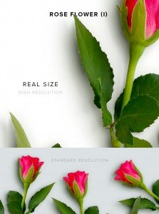 item description rose flower 1