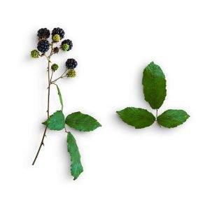 item cover blackberries and leaves 3