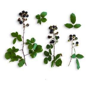 item cover blackberries and leaves pack