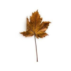 item cover maple 1 leaf 3