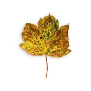 item cover maple 2 leaf 2