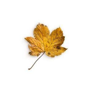 item cover maple 2 leaf 3