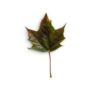 item cover maple 3 leaf 1