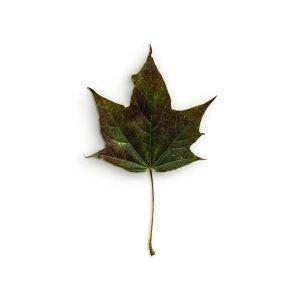 item cover maple 3 leaf 3