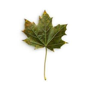 item cover maple 3 leaf back 2