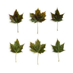item cover maple 3 leaves pack