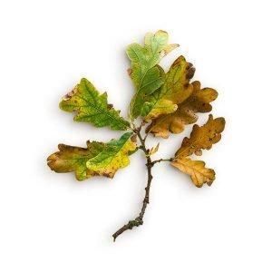 item cover oak stick leaves 2