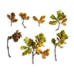 item cover oak sticks leaves pack