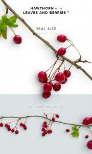 item description hawthorn with leaves and berries 1