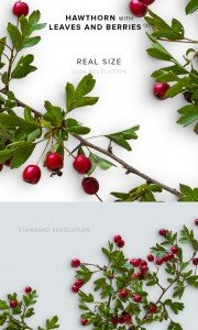 item description hawthorn with leaves and berries 3