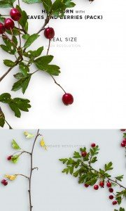 item description hawthorn with leaves and berries pack