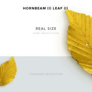 item description hornbeam 1 leaf 1