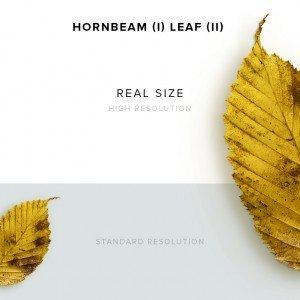 item description hornbeam 1 leaf 2