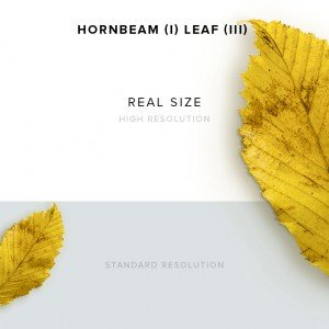 item description hornbeam 1 leaf 3