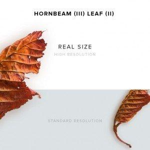 item description leather hornbeam 3 leaf 2