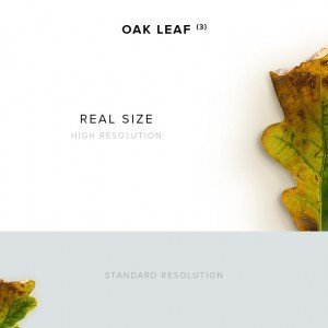 item description oak leaf 3