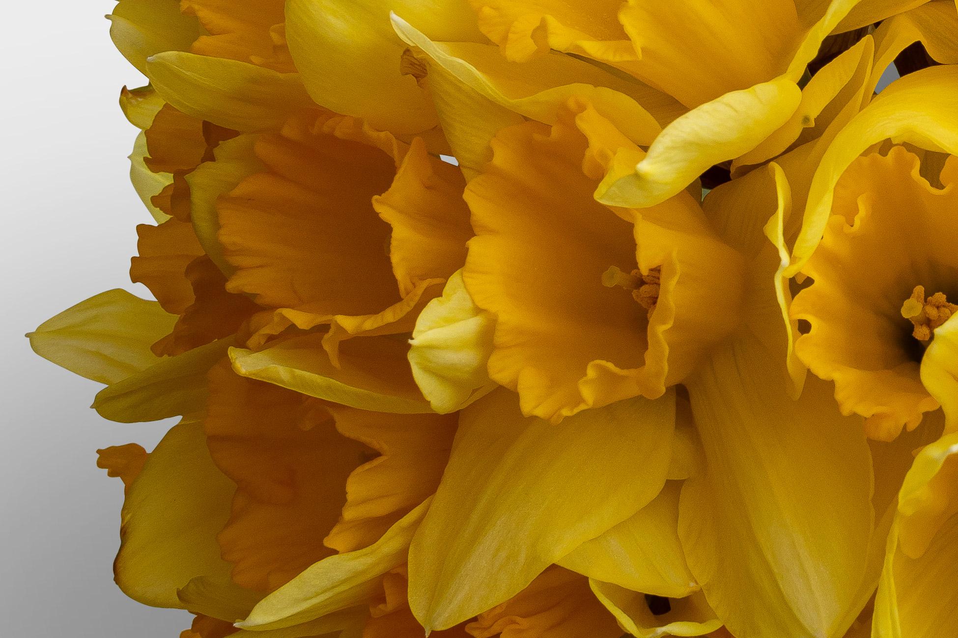 Daffodils High Resolution