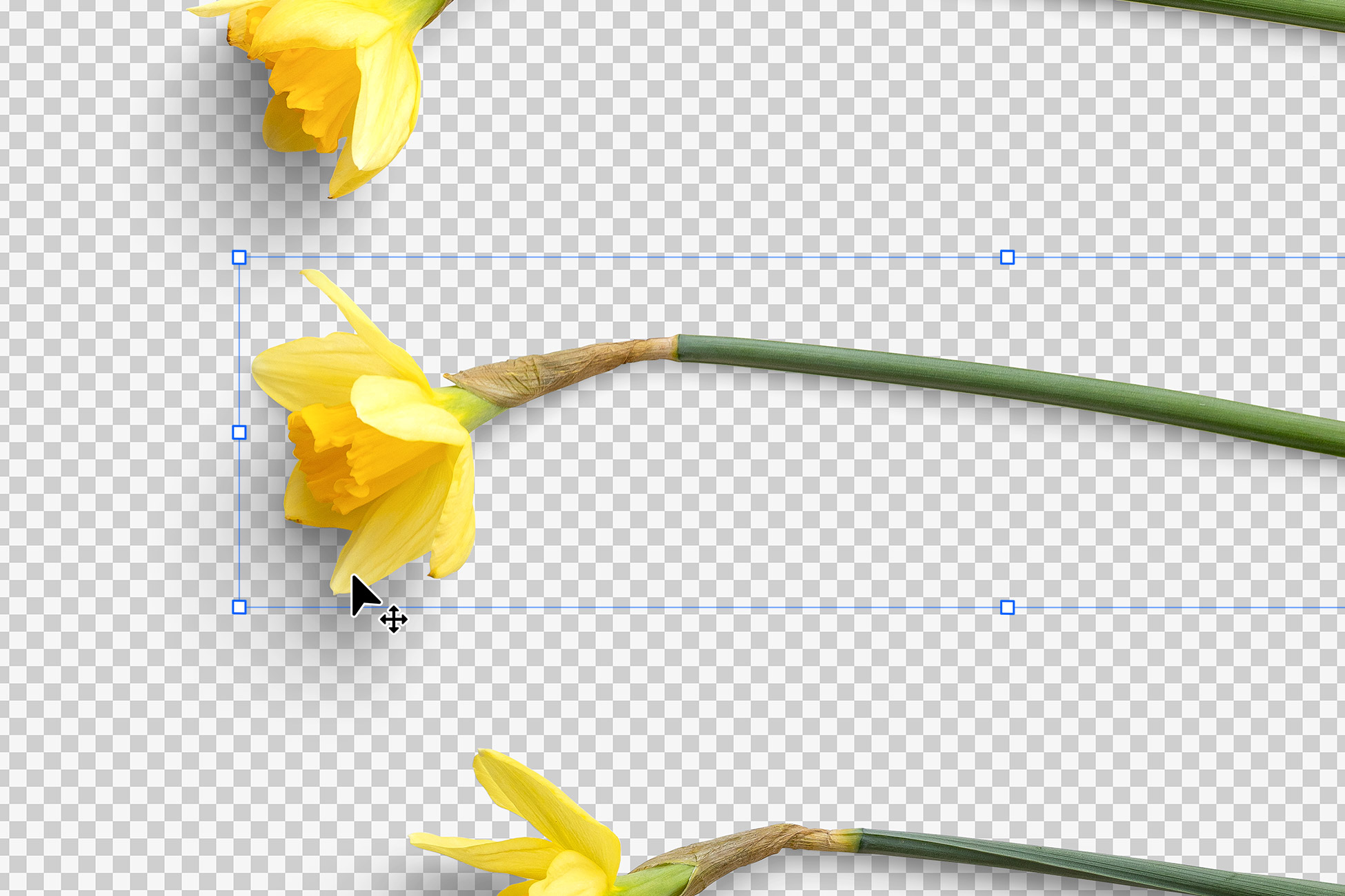 Daffodils Isolated Objects