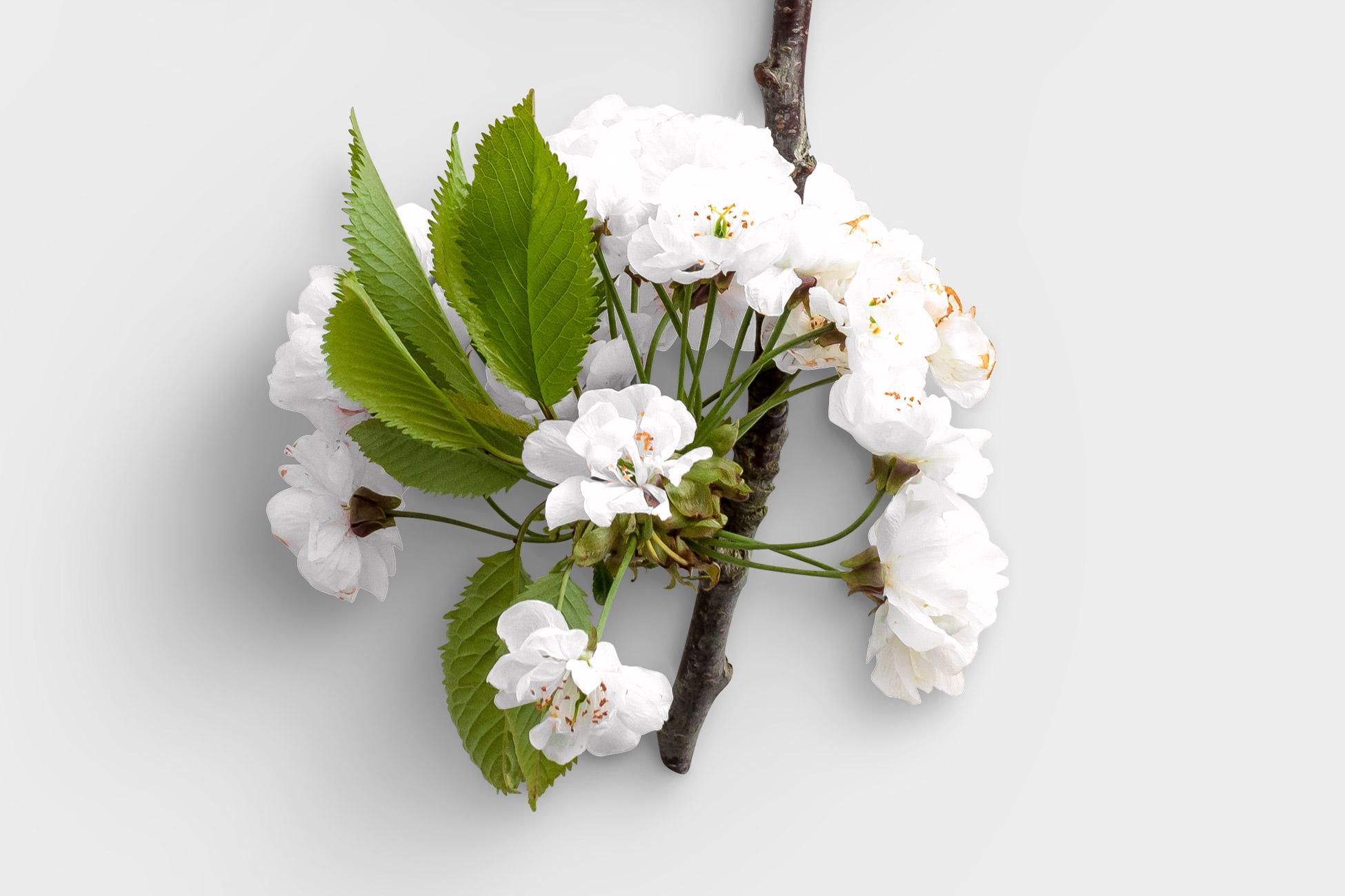 Cherry Blossoms High Resolution