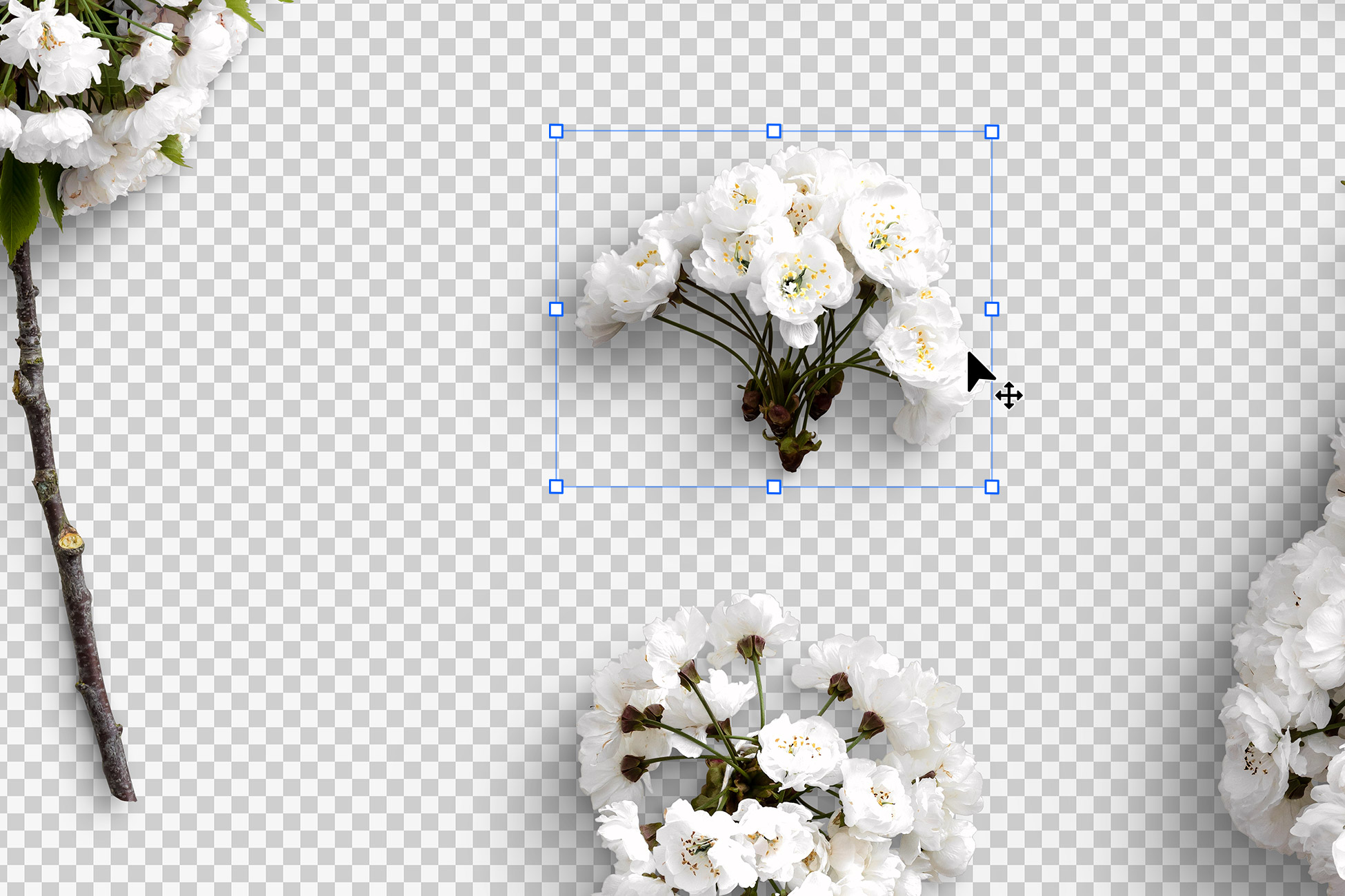 Cherry Blossoms Isolated Objects