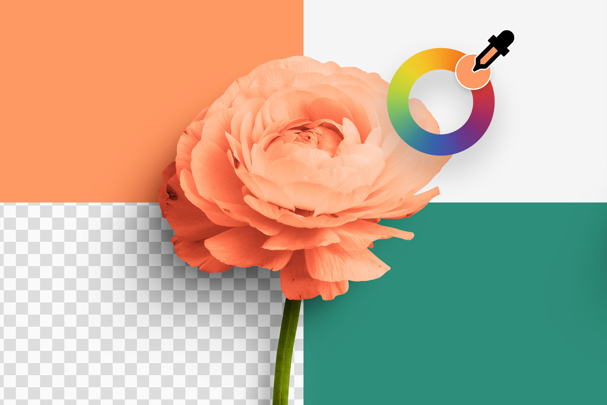 Ranunculus Flower Color Editable