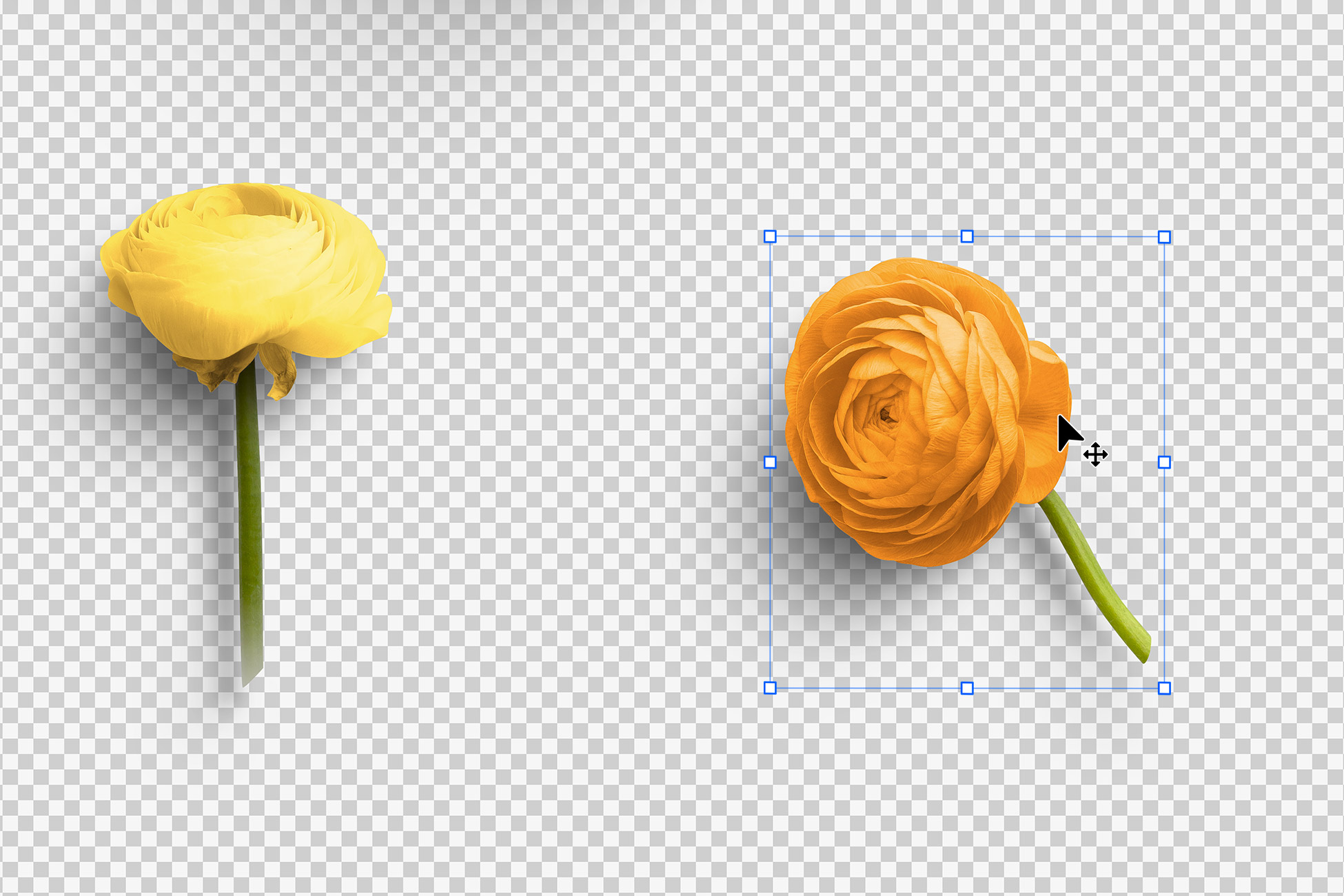 Ranunculus Flower Isolated Objects