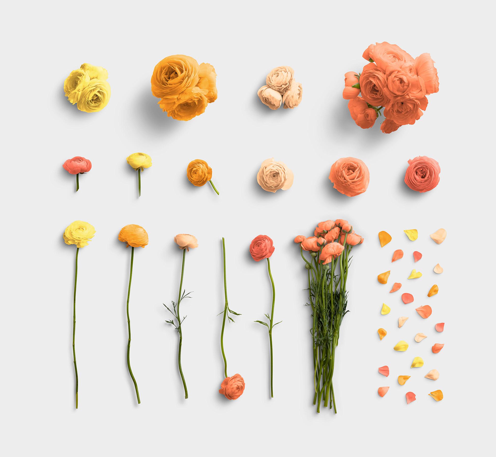 Ranunculus Flower Item Scene Creator 1