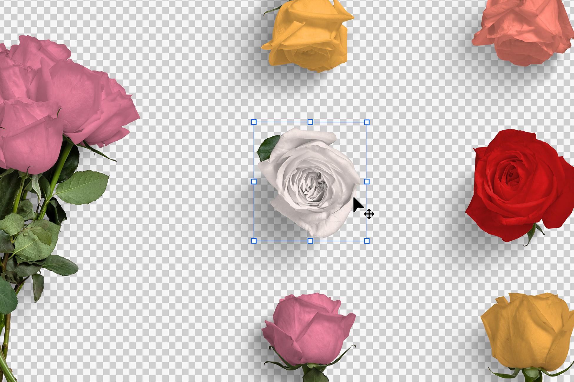 Roses Flower Isolated Objects
