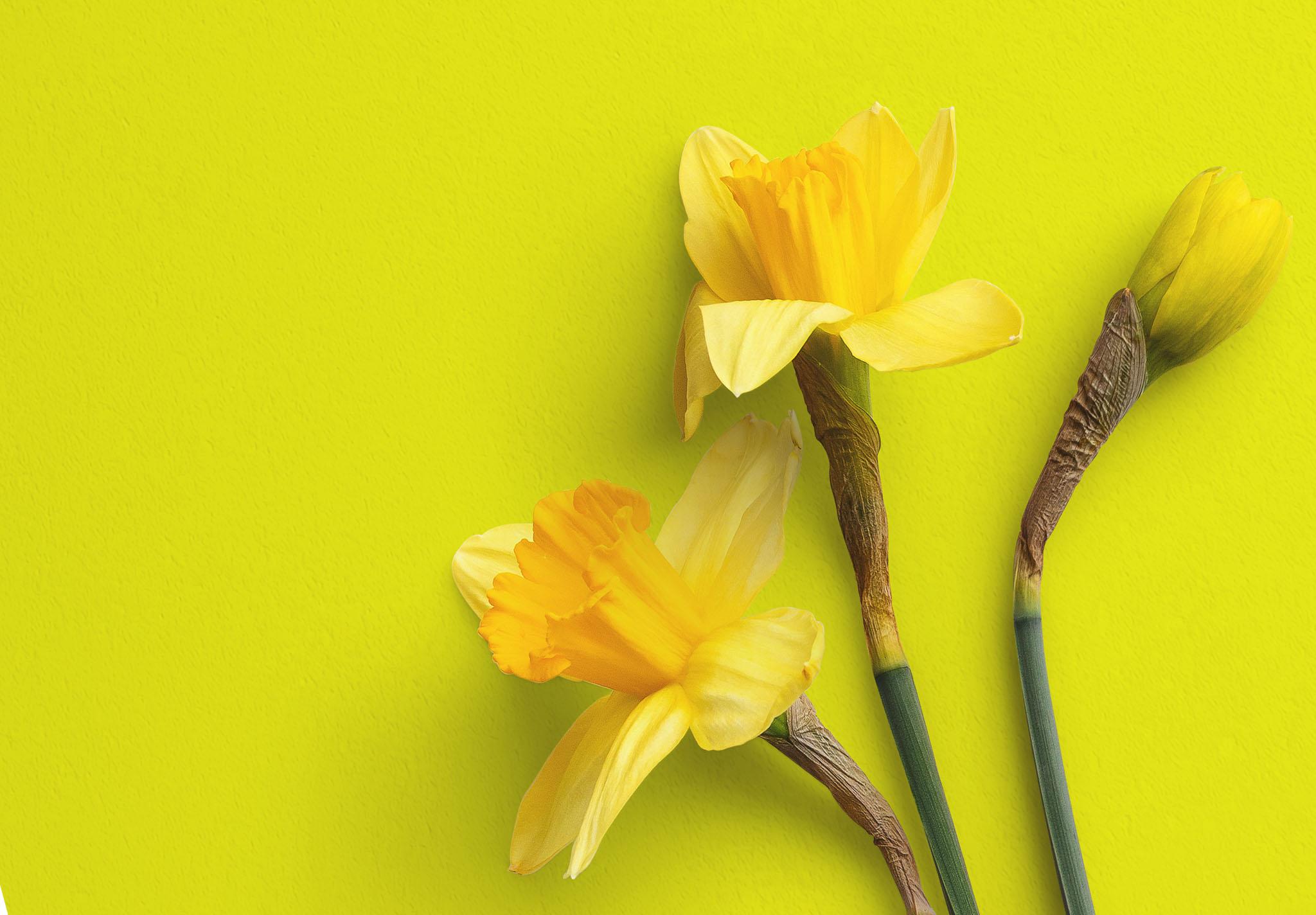 Daffodils Custom Scene Creator Template 7 Image04