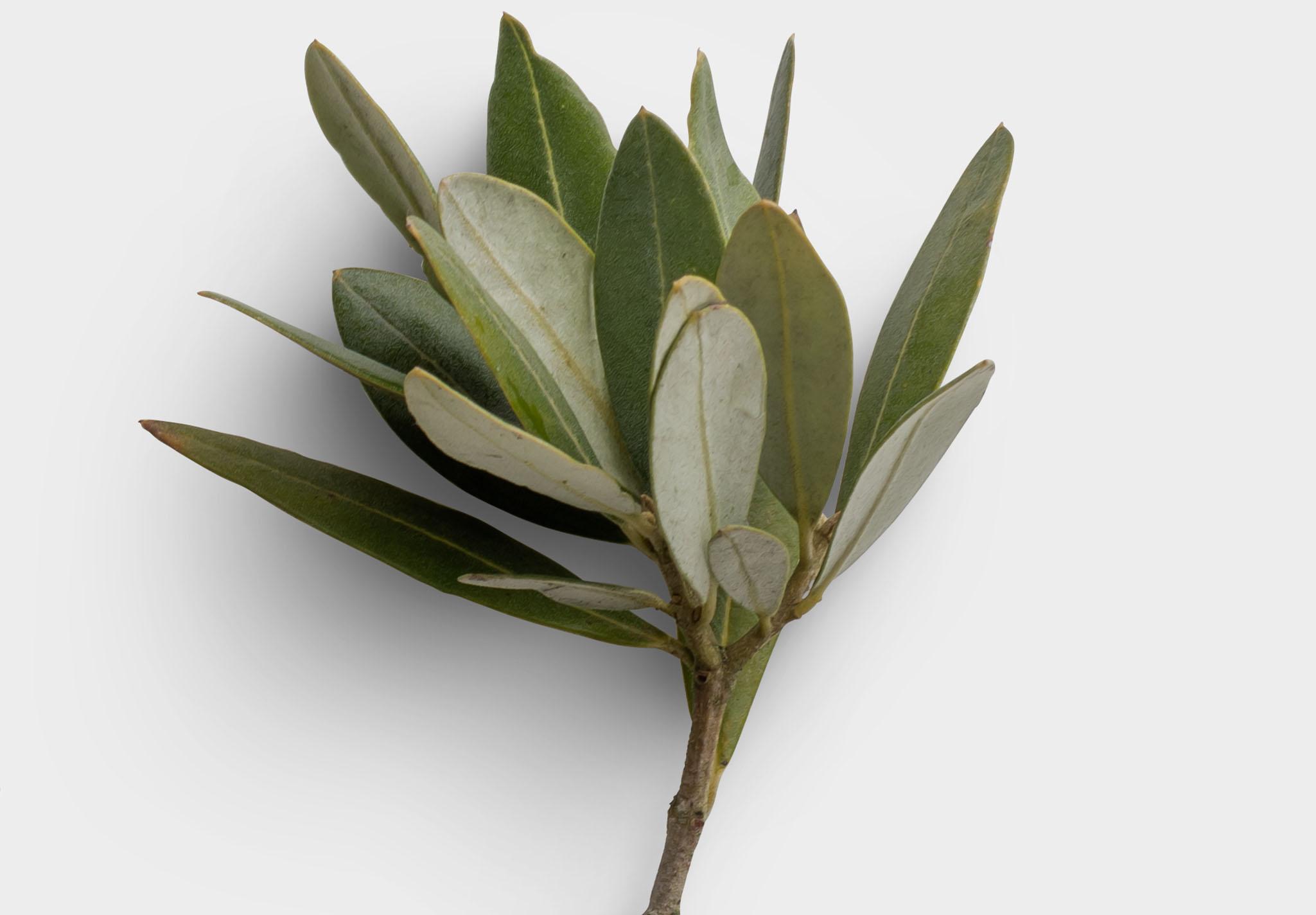 Olive Tree High Resolution