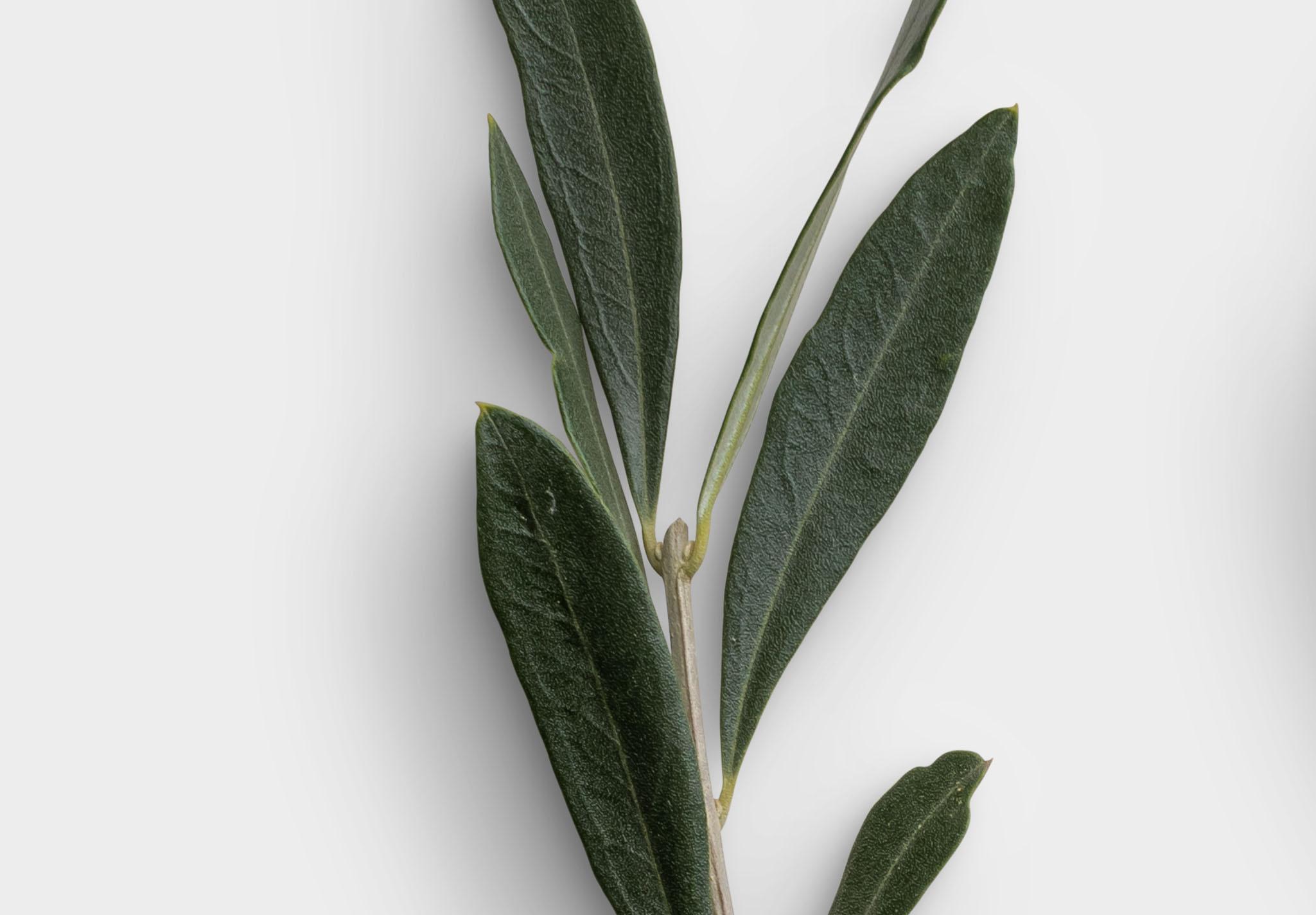Olive Tree 2 High Resolution